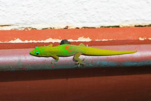 hawaiian lizard big island